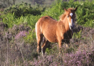 Beautiful Bournemouth_New Forest Pony
