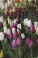 S10184@300 © Harrogate Flower Show